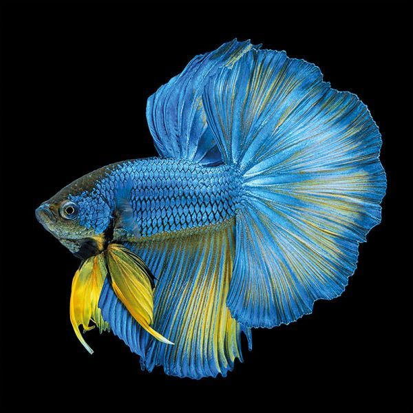 Blue Yellow Long Tail Isolated 100x100x2cm Dibond